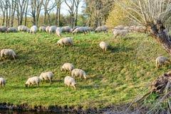 Flock av får i Zeeland, Holland Fotografering för Bildbyråer