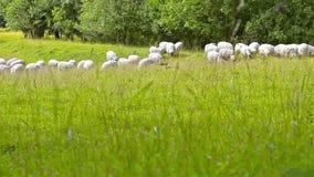 Flock av får, lammet och getter som betar i fält lager videofilmer