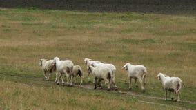 Flock av får - materielvideo arkivfilmer