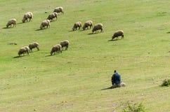 Flock av får med herden arkivbild