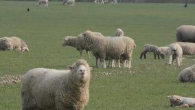 Flock av får med lamm lager videofilmer