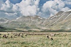 Flock av får - Monte Sibillini royaltyfri fotografi