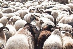 Flock av får nära Havelte, Holland royaltyfri foto