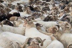 Flock av får nära Havelte i Nederländerna Arkivbild