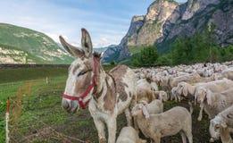 Flock av får och en åsna arkivfoto