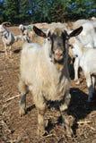 Flock av får och getter och betesdjur Arkivbild