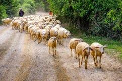 flock av får och herdar royaltyfri bild