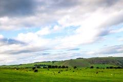 Flock av får och kor på härlig grön äng på molnig dag Fotografering för Bildbyråer