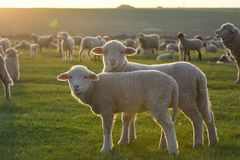 Flock av får och lamm royaltyfria bilder