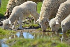 Flock av får och lamm på fält royaltyfria bilder