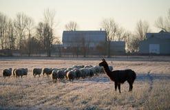 Flock av får och lLamaen Arkivbild
