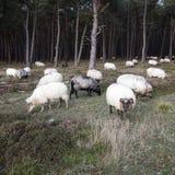 Flock av får och pinjeskogen Royaltyfria Bilder