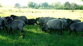 Flock av får och RAM som går på grön äng på nötkreaturlantgården Tamdjur lager videofilmer