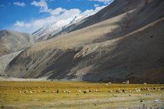 Flock av får- och snöbergskedja Ladakh, Indien Royaltyfri Foto