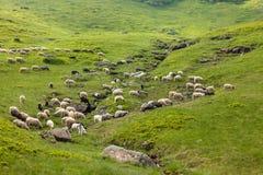 Flock av får på äng arkivbild