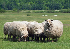 Flock av får på äng fotografering för bildbyråer