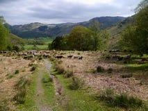 Flock av får på backen Royaltyfri Foto