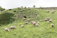 Flock av får på bergäng i Frankrike royaltyfri fotografi