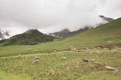 Flock av får på bergäng i Frankrike royaltyfri foto