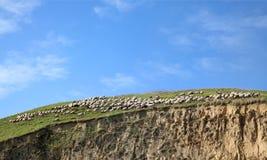Flock av får på bergen arkivbilder