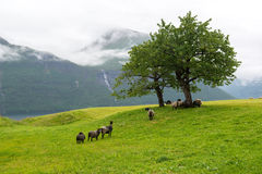 Flock av får på beta under ett träd på en fjordkust, Norge Royaltyfri Bild