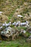 Flock av får på det steniga berget Grupp av får på gräsfält på bygdlantgård arkivbild