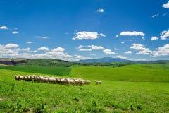 Flock av får på det tuscany fältet Arkivfoton