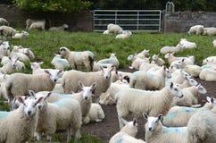 Flock av får på en farmyard royaltyfri foto
