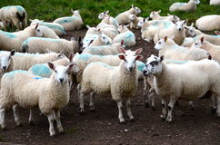Flock av får på en farmyard arkivbild