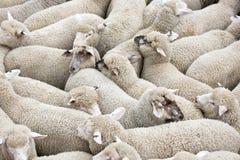 Flock av får på en lastbil arkivfoto