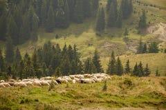 Flock av får på ett berg Arkivfoton