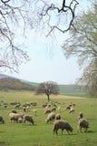 Flock av får på fält arkivfoto
