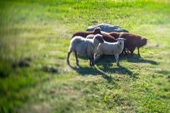 Flock av får på fältet SOMMAREN landskap n Royaltyfria Bilder