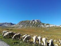 Flock av får på foten av gransassoen fotografering för bildbyråer