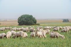 Flock av får på gräsmattorna royaltyfri foto