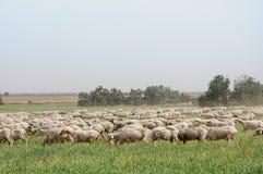 Flock av får på gräsmattorna Royaltyfri Fotografi