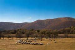 Flock av får på grässlättar Royaltyfri Fotografi