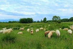 Flock av får på grön äng Arkivbild