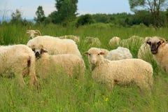 Flock av får på grön äng Arkivfoto