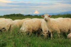 Flock av får på grön äng Royaltyfria Bilder