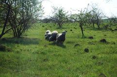 Flock av får på grönt gräs Arkivfoto