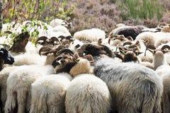 Flock av får på hedfältet nära Havelte, Holland royaltyfria foton