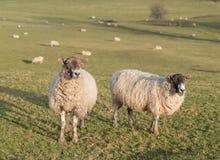 Flock av får på kullelantgård Arkivfoton