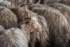 Flock av får på lantgården Royaltyfri Bild