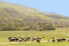 Flock av får på våräng på foten av berg arkivbild