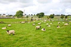 Flock av får som är västra av Irland royaltyfria bilder