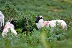 Flock av får som är västra av Irland arkivbild