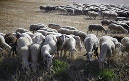 Flock av får som äter i fältet Royaltyfri Bild