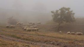 Flock av får som betar gräs i ängen på en bakgrund av dimma skjutit Grupp av får som betar gräs i ett lantligt dimmigt arkivfilmer