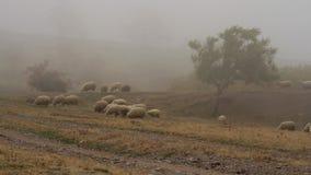 Flock av får som betar gräs i ängen på en bakgrund av dimma skjutit Grupp av får som betar gräs i ett lantligt dimmigt stock video